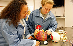 Students examine a human heart in the cadaver lab.