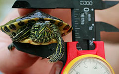 small turtle held by a measuring device