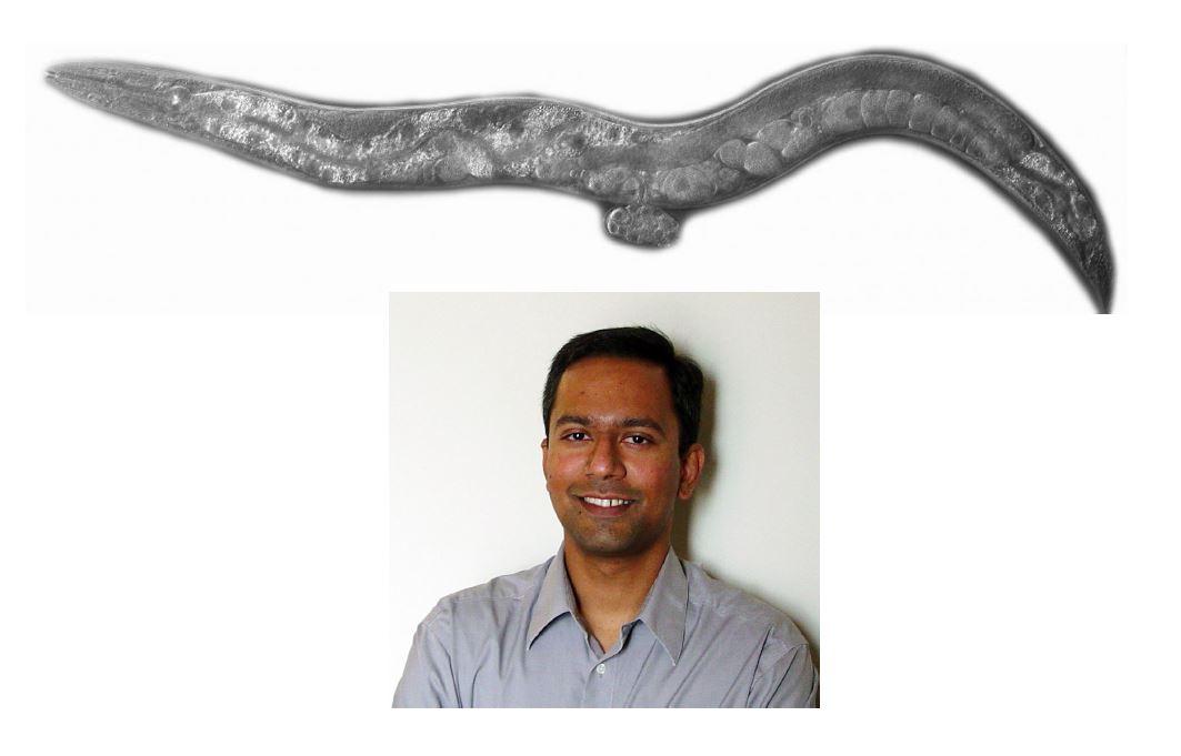 Dr. Antony Jose under Caenorhabditis elegans likeness