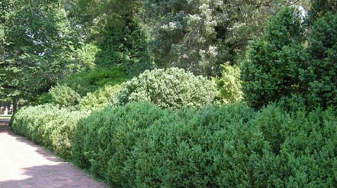 Various Boxwood