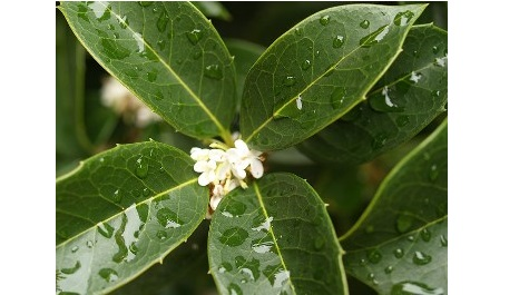 Fortune Osmanthus (Osmanthus x fortune)