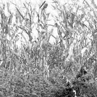 A pencil drawing of the cornfield Cole walked through while lost