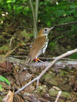 A wood thrush in his native heath, fitted with leg bands and a small backpack transmitter. Photo by Vitek Jirinec