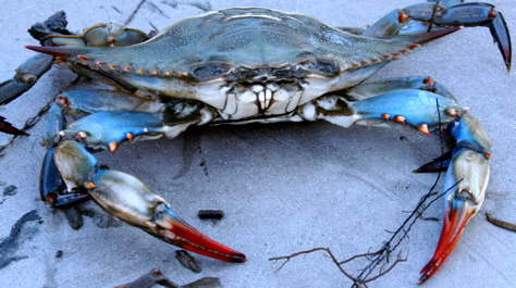 Scientific Survey Shows Modest Improvement In Blue Crab Stock