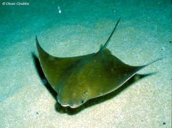 The cownose ray — Rhinoptera bonasus (Photo by D. Grubbs/FSU)