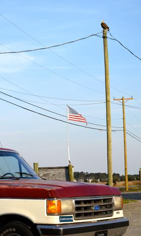 Bald eagle, Old Glory, pickup truck: the most American photo ever? Caught on a field trip of Dan Cristol's Ornithology class to Poquoson. Photo by Maddy King '18