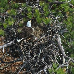 A researcher's-eye view of a bald eagle nest. Capt. Fuzzzo flies low and slow to give scientists the best view possible. (Center for Conservation Biology photo)