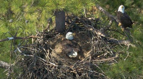 No nesting eagles on campus — yet