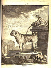 Copperplate engraving of a pug, one of the 20 dog engravings found in the volume