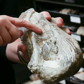 Fossilized oyster shells retain the bands by which scientists can track the annual growth of the creature. (Photo by Stephen Salpukas)