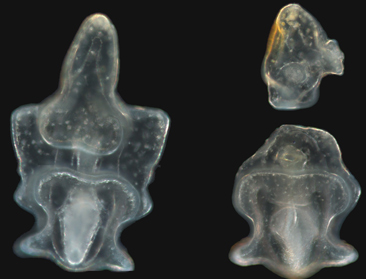 Crown-of-thorns larvae, before (left) and after cloning (Jonathan Allen lab photo)