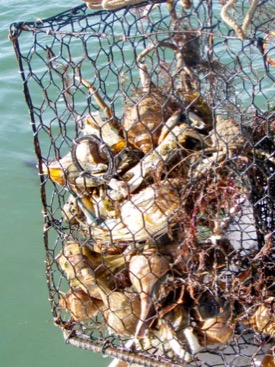 A derelict crab pot recovered from the Eastern Shore is filled with blue crabs and whelks. (Photo by Mark Pruitt)