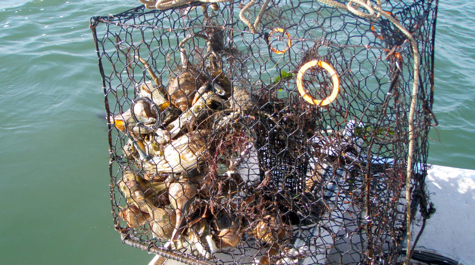 A recovered derelict crab pot filled with blue crabs and whelks