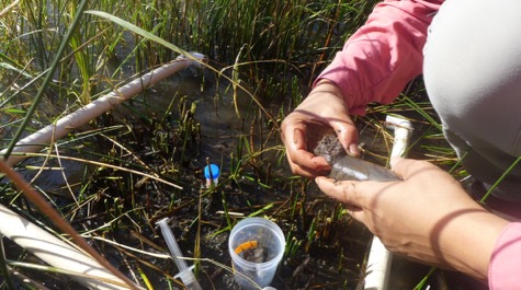 Salt marsh sampling: