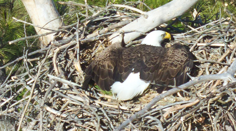 "A bald eagle strikes an unusual ""spread eagle"" pose on a nest near Hopewell along the James River."