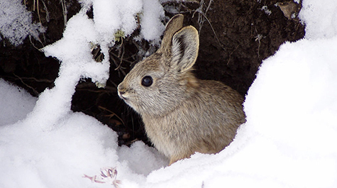 An endangered Columbia Basin Pygmy rabbit stands in the snow.