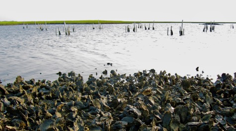 Exposed oyster reef: