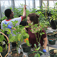 A team of students administers predatory insects in the greenhouse