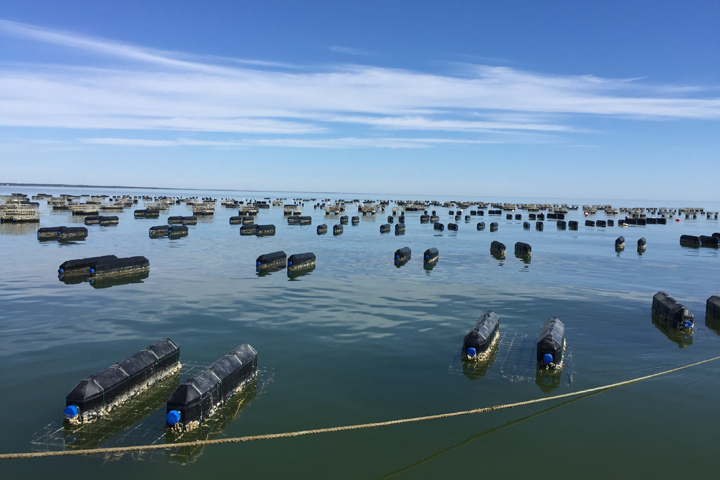 Oyster cages floating in a body of water
