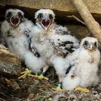 A hungry brood of young peregrine falcons wait for a parent to get back with some dinner.