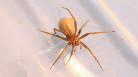 brown recluse spider spinning a web