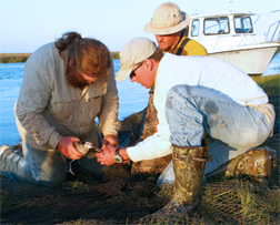 Researchers release a whimbrel and prepare to fit it with a transmitter on the Eastern Shore.