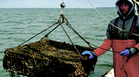 Oyster grower