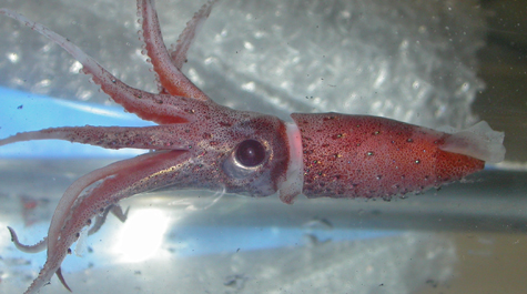 Jewel Squid