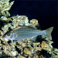 Striped bass and oysters are two of the Chesapeake Bay species that will benefit from NCBO-funded research at the Virginia Institute of Marine Science.