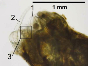 Copepod body parts are visible within the fish fecal pellet: 1, swimming leg; 2, antenna; 3, furcal rami. Image courtesy Grace Saba, Rutgers IMCS.