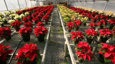 Greenhouse Poinsettias