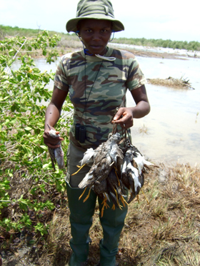 A local hunter in a Guadeloupe mangrove swamp displays the product of a shooting session—a bag of migratory shorebirds. Shooting whimbrels and other species of wading birds is legal in many places in the Caribbean. Photo by Anthony Levesque.