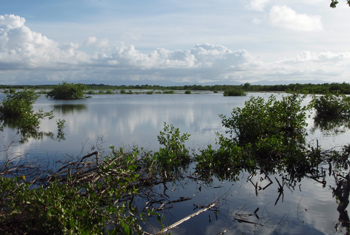 The Port Louis shooting swamp in Guadeloupe, where Goshen was shot in September 2011. Photo courtesy of the Center for Conservation Biology.
