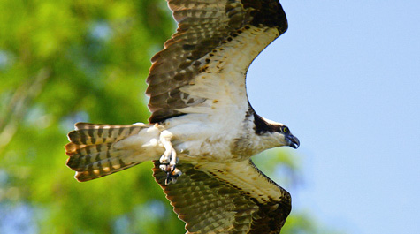 The osprey are back