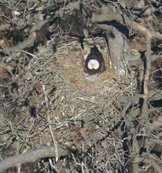 Byrd's eye view of some birds: A photo of a Chickahominy River Eagle nest, with parent and chicks, taken from Capt. Fuzzzo's plane during a census flight. (Photo by Bryan Watts)