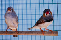 Zebra finches make good lab proxies for wild songbirds for a number of reasons, including being prolific breeders in captivity. Photo by Zach Souliere.