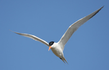 Royal terns are common offshore birds, one of a number of species whose populations may be put at risk by careless siting of wind farms. Photo by Bart Paxton.