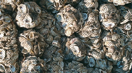 Oyster Shells For Sell Oyster Shells