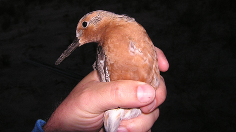 A red knot in the hand