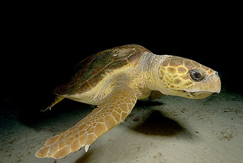 Turtle of the Bay